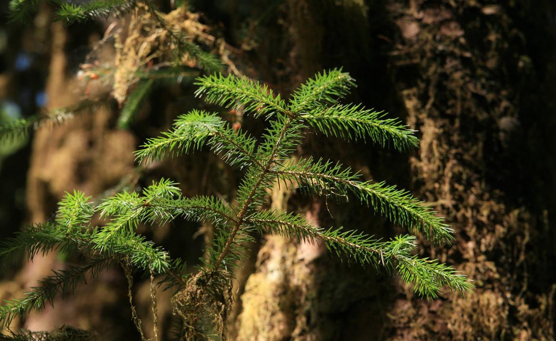 Evergreen [CCBY-SA Quinn Dmbrowski]