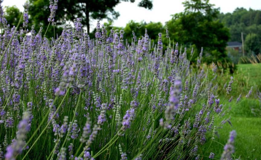 Lavender [CCBY MuhammadAli]