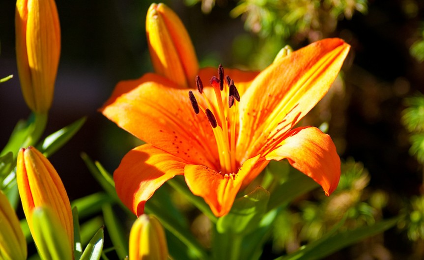 Potted Lilies [CCBY Thomas Tolkien]