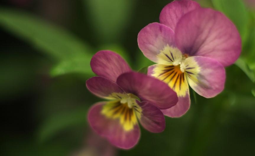 Violas [CCBY-SA k Yamada]