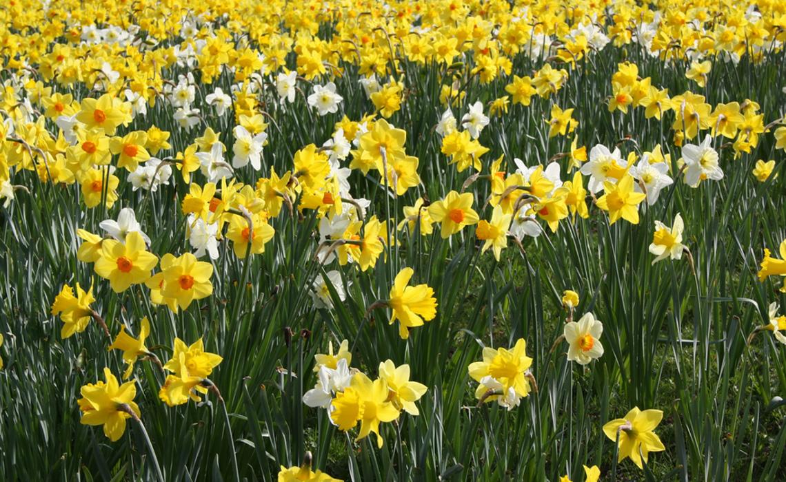 Daffodil [CCBY-SA AndrewWilkins]