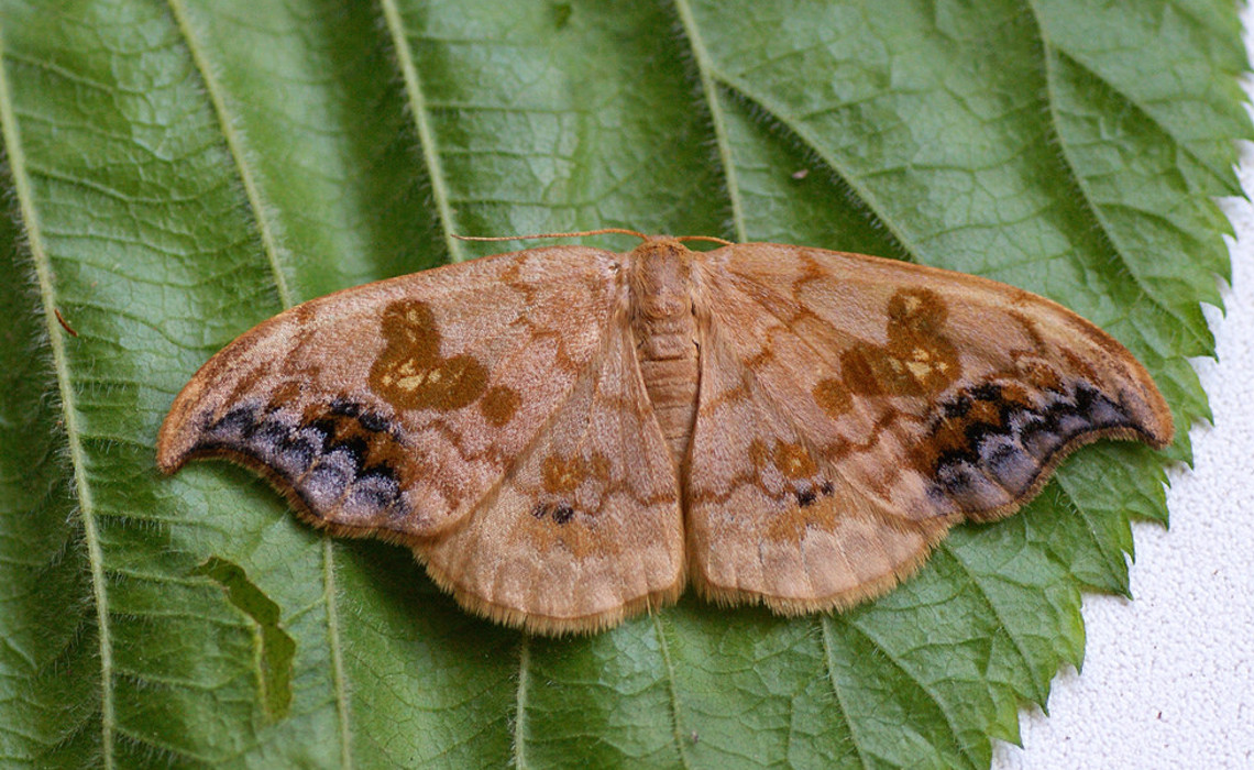 moth [CCBY-SA IlliaUstyantsev]