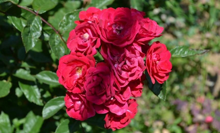 Rose [CC0 MarcoIuachim]