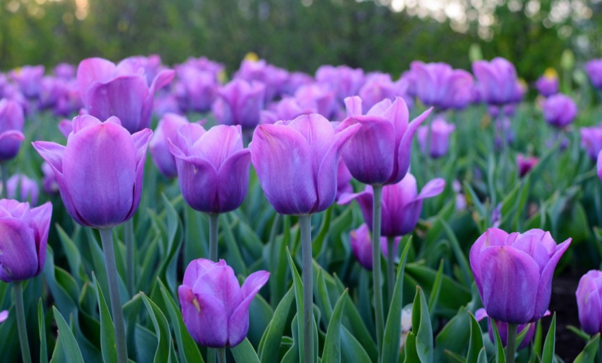 tulip [CC0 MahbubIslam]
